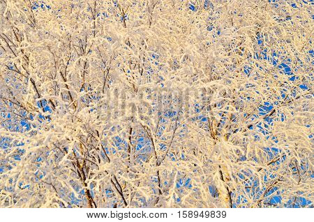branch covered with frosty rime. winter macro picture. frosty winter sunny day. Beauty! sunset through the frost