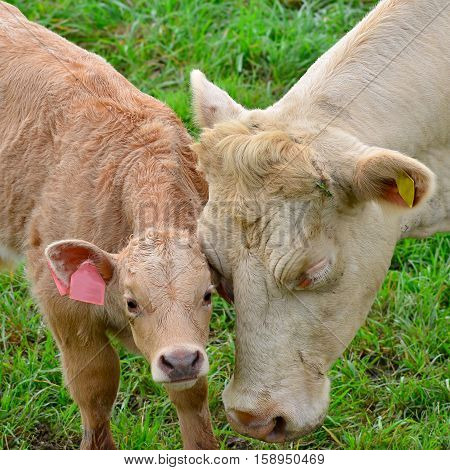 Cute calf with its mother on meadow.