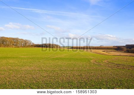 extensive green wheat crops and woodlands in a yorkshire wolds landscape in autumn with hills hedgerows and larch forest under a blue cloudy sky
