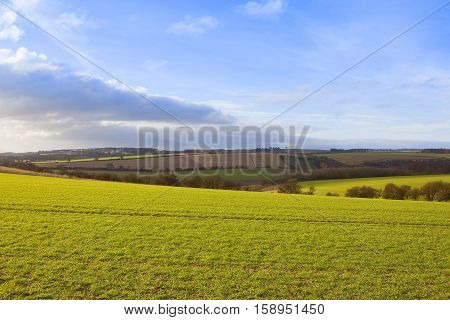 young green wheat crops in an undulating yorkshire wolds landscape with hills hedgerows and patchwork fields in autumn under a blue sky with soft cloud patterns