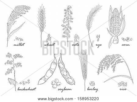 Hand drawn Cereals set of vector sketches. Vintage design with rye rice wheat corn oats millet soybean ear of grain illustration.