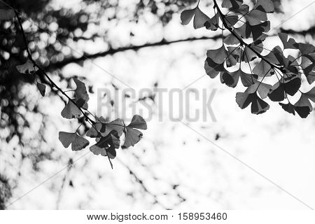 gingko leaves on branch in black and white