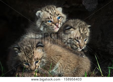Bobcat Kittens (Lynx rufus) Pile Up - captive animals