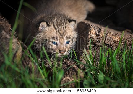 Bobcat Kitten (Lynx rufus) Peeks Out Between Grass Stems - captive animal