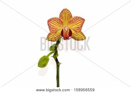 One beautiful orchid isolated on white background
