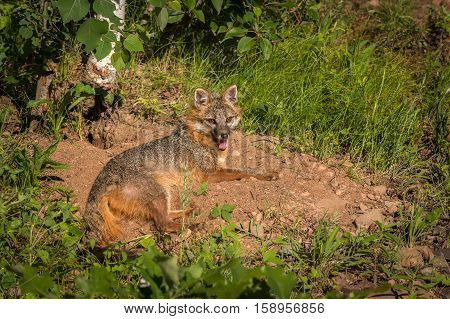Grey Fox Vixen (Urocyon cinereoargenteus) Panting In Sunny Spot - captive animal
