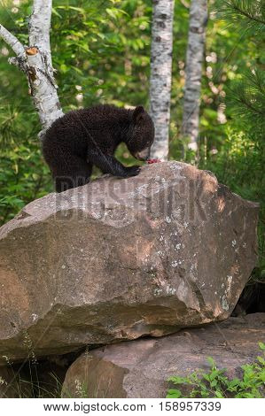 Young Black Bear (Ursus americanus) Sniffs at Berries - captive animal
