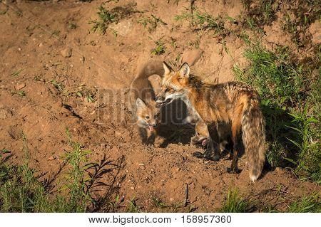 Red Fox Vixen (Vulpes vulpes) and Two Kits - captive animals