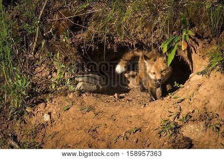Red Fox Kit (Vulpes vulpes) Stands in Den Entrance - captive animal