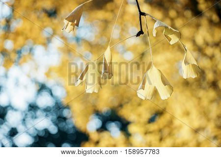 golden gingko leaves on branch in autumn