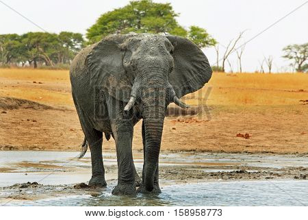 isolated elephant standing in a shallow waterhole in Hwange National Park, Zimbabwe, Southern Africa