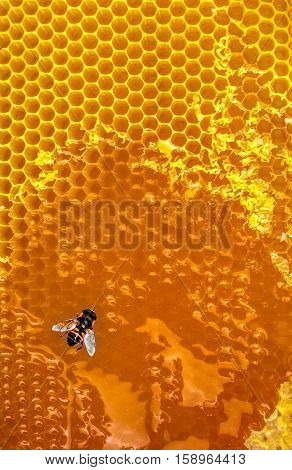 Honey bees Honeycomb close-up. honeycomb with bee background.