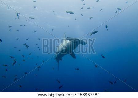 Hammerhead Shark Malpelo Island