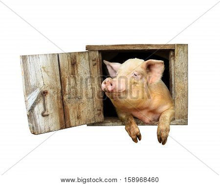 pig looks out from window of shed isolated on the white background
