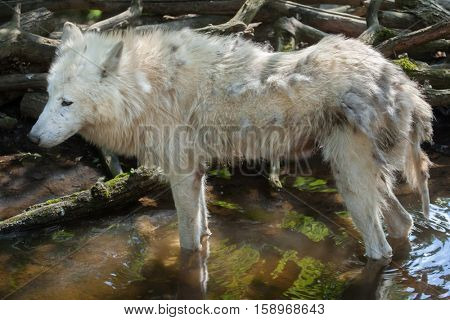 Arctic wolf (Canis lupus arctos), also known as the Melville Island wolf.