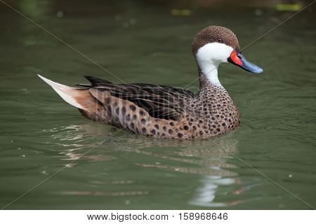 White-cheeked pintail (Anas bahamensis), also known as the Bahama pintail. Wildlife animal.