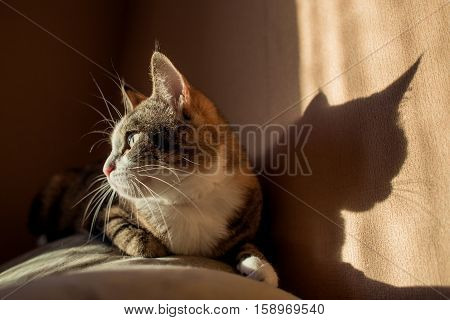 Savannah colored cat with deep yellow green eyes and tassels on the ears looking at camera. Sunny hard light with shadows