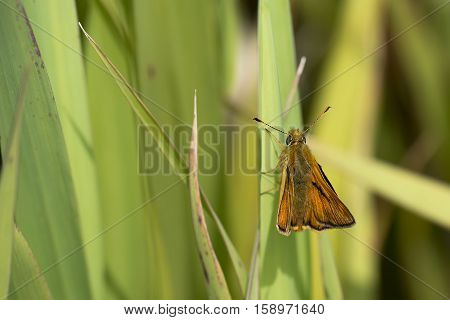 Large Skipper (Ochlodes sylvana) butterfly resting on a Leaf of Yellow Iris (Iris pseudacorus)