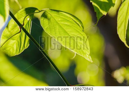 Sunlight through Vibrant green leaf and twig