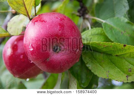 Red Wealthy apples on apple tree branch. Russia.