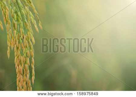 Close up of paddy rice in rice field