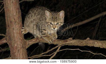 Feral kitten climbing the cedar tree at night