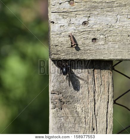 Large Black Bumble Bee On A Wooden Fence. Black Hairy Insect