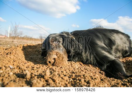 Happy dog rests and enjoys in sand. Flat coated retriever