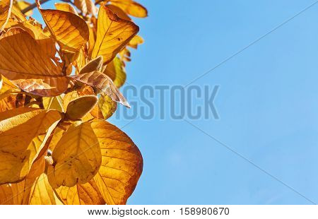 Autumn bud and leave in beautiful clear blue sky. Background of autumn leave with copyspace.