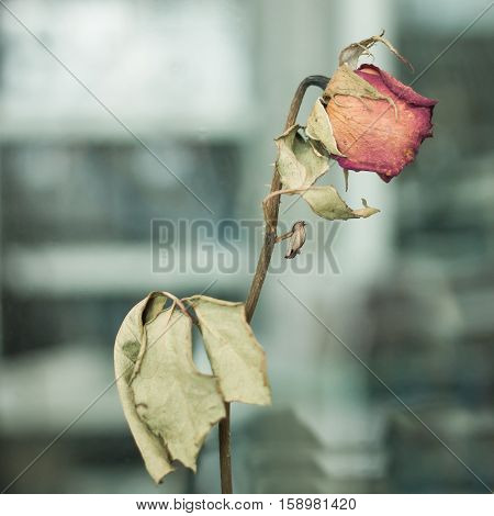 The Dry red rose in the vase