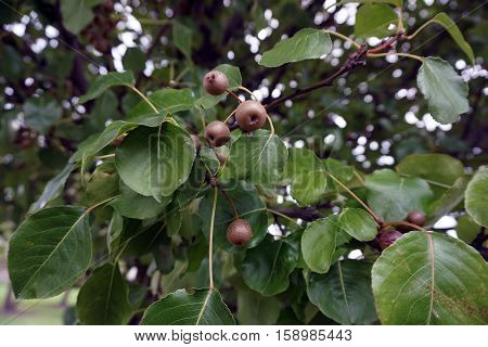 A cluster of small fruits cling to a Callery pear tree (Pyrus calleryana), also called the Bradford flowering pear, in the Wesmere Country Club subdivision of Joliet, Illinois during October.