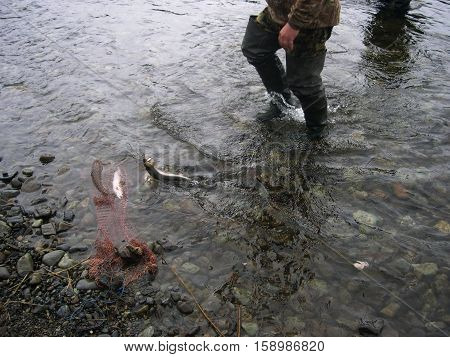 Rainbow trout (lat. Oncorhynchus mykiss). Fishing in Kamchatka. Foggy morning. Summer. Russia, the Kamchatka Peninsula.
