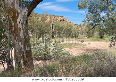 river red gum trees or eucalyptus camaldulensis along dry todd river basin near alice springs northern territory of australia