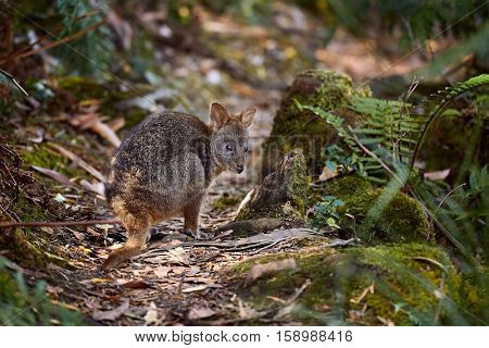 Small wallaby in the forest