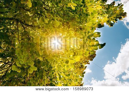 Foliage tree Basswood with sunlight through the branches