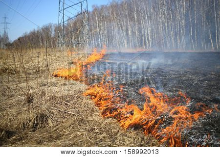 Burning dry grass along the birch grove in the spring