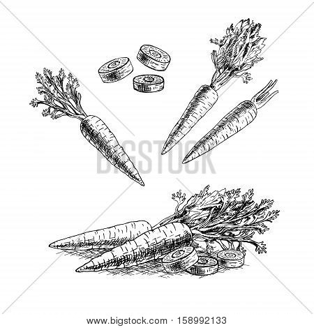 Hand drawn set of carrot. Retro sketches isolated. Vintage collection. Linear graphic design. Black and white image of vegetables. Vector illustration.