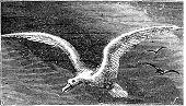 Wandering albastross Snowy albatross white-winged albatross or diomedea exulans engraving. Old vintage illustration of flying wandering albastross. poster