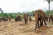 flock of elephants in the wilderness near Pinnawela poster