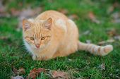 Yellow young cat stalking on green background faced towards the camera. poster
