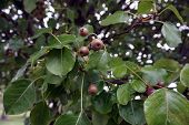 A cluster of small fruits cling to a Callery pear tree (Pyrus calleryana), also called the Bradford flowering pear, in the Wesmere Country Club subdivision of Joliet, Illinois during October. poster