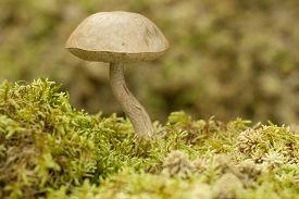 edible mushroom (Leccinum holopus) on green moss