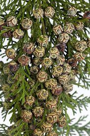 branch of coniferous tree (Chamaecyparis lawsoniana) macro