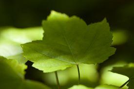 green leaf maple (Acer rubrum) on blurred background