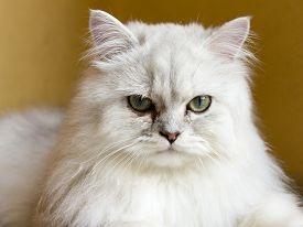 A beautiful Persian cat chinchilla looks toward the lens