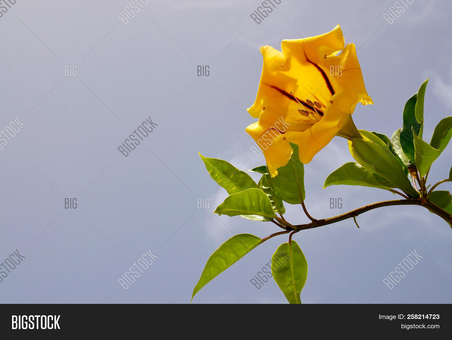 Yellow Cup Gold Vine Image Photo Free Trial Bigstock