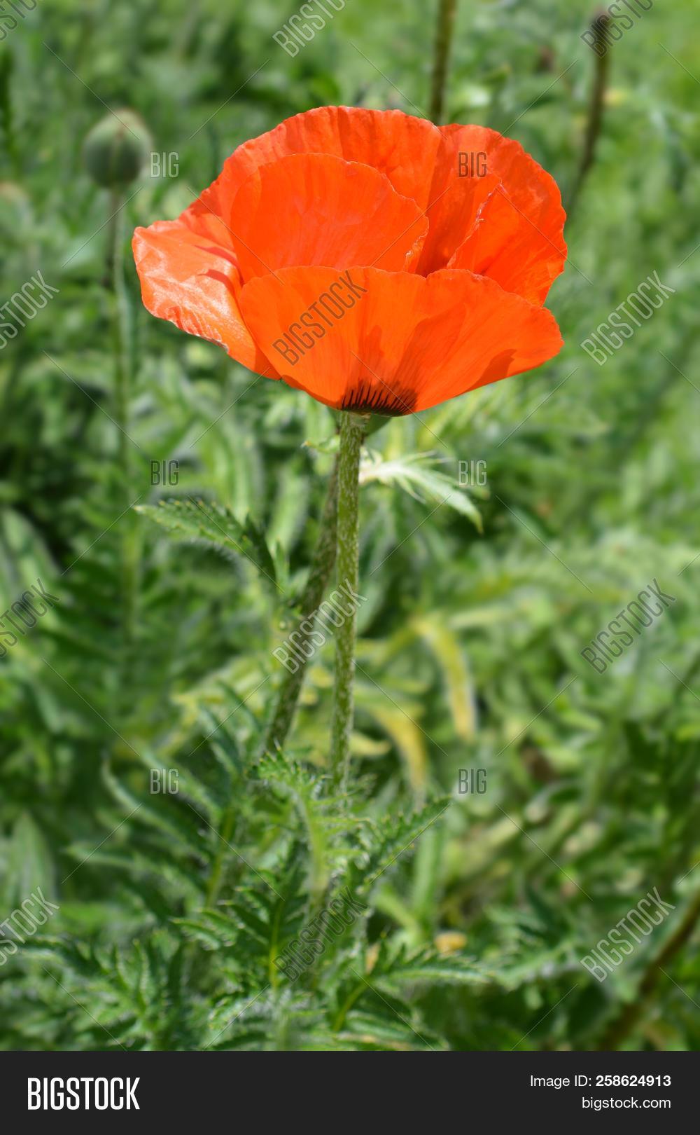 Red Oriental Poppy Image Photo Free Trial Bigstock