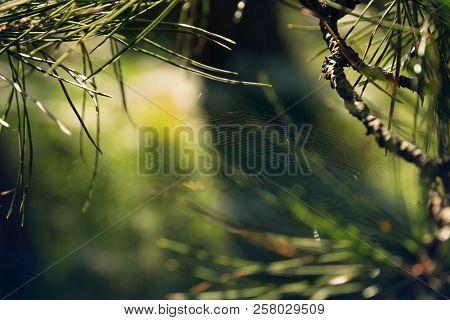 Pine Tree Nature Background. Nature Background Of Spider Web And Pine Tree Leaves. Pine Tree Leaves