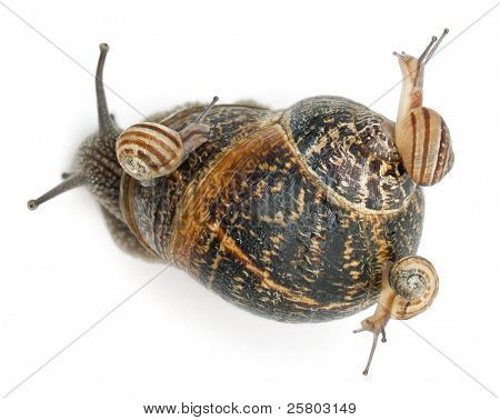 Garden snail with its babies on its shell in front of white background