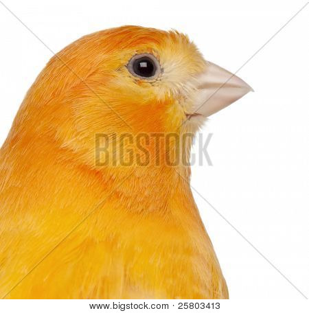 Close-up of Canary, Serinus canaria domestica, 2 years old, in front of white background